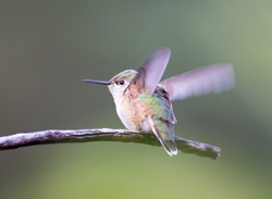 Hummingbird in Boulder, Colorado, by Jeff Finkelstein