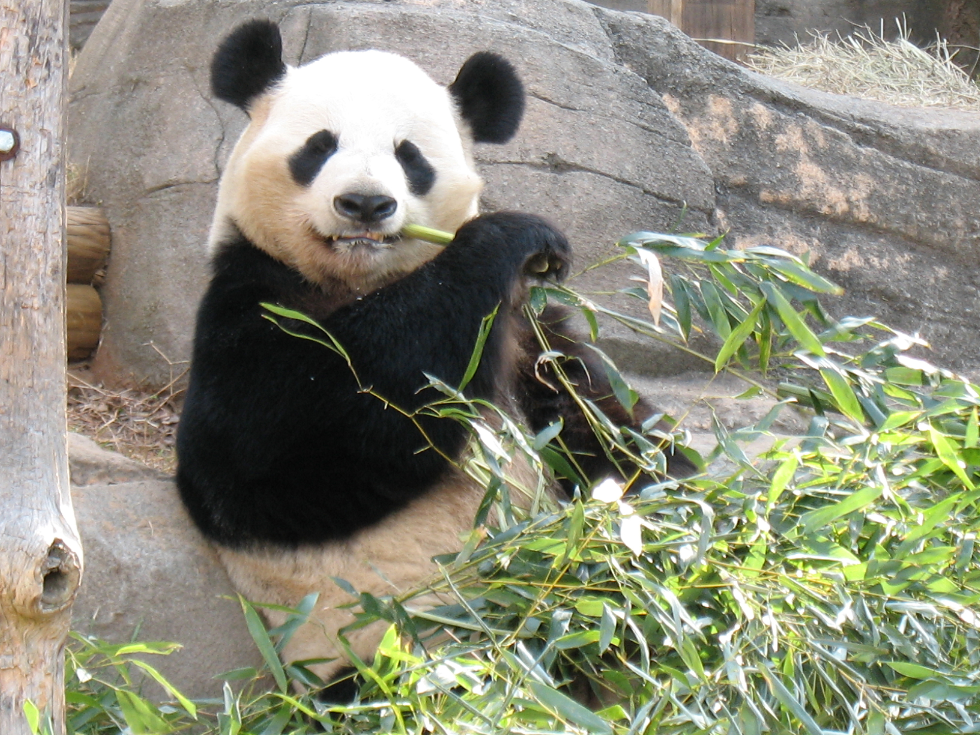 Panda Eating Bamboo - SEO Customer Paradigm