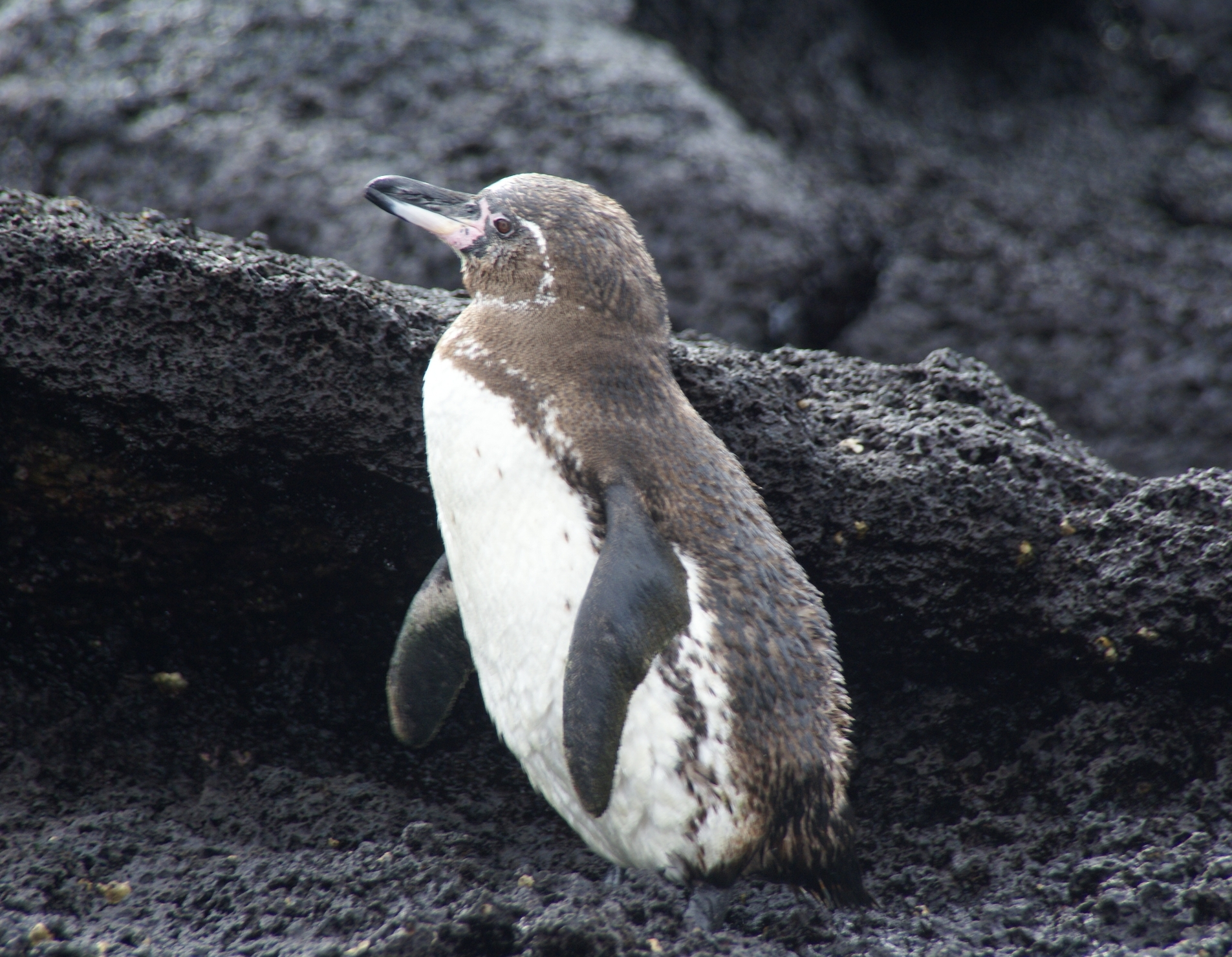 Penguin Standing on Black Shore - SEO Customer Paradigm