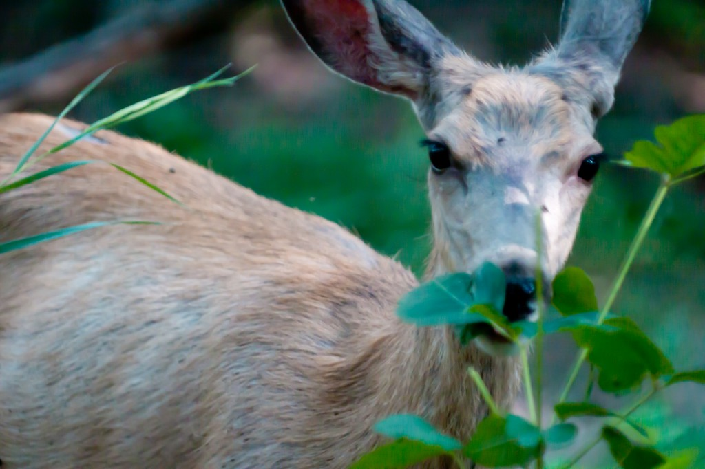 Deer Eating Poison Ivy