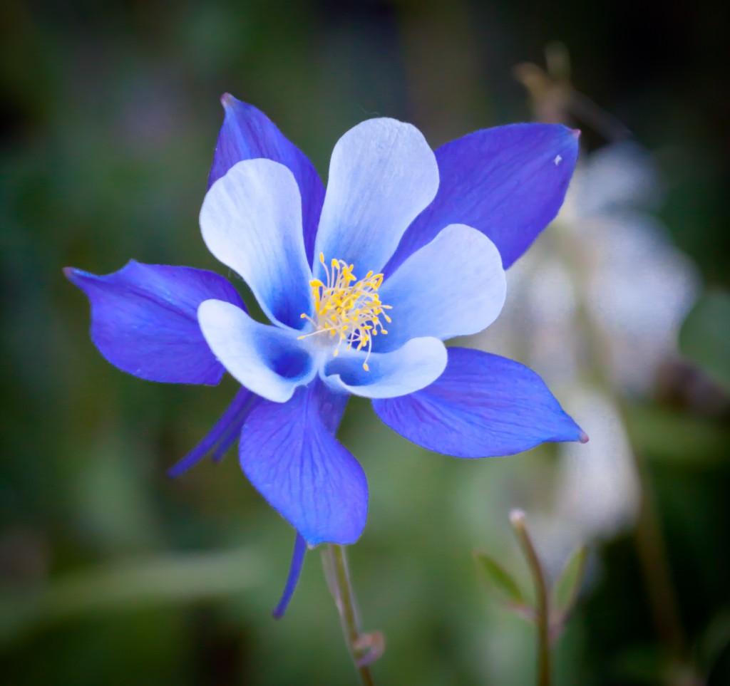 Колорадо цветок