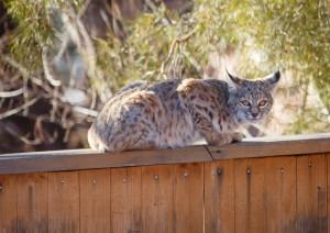 Bobcat in Boulder, Colorado