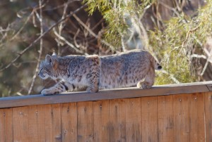 Bobcat in Boulder, Colorado