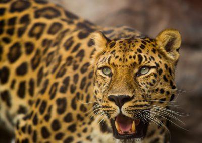 Cheetah Product Ad Image